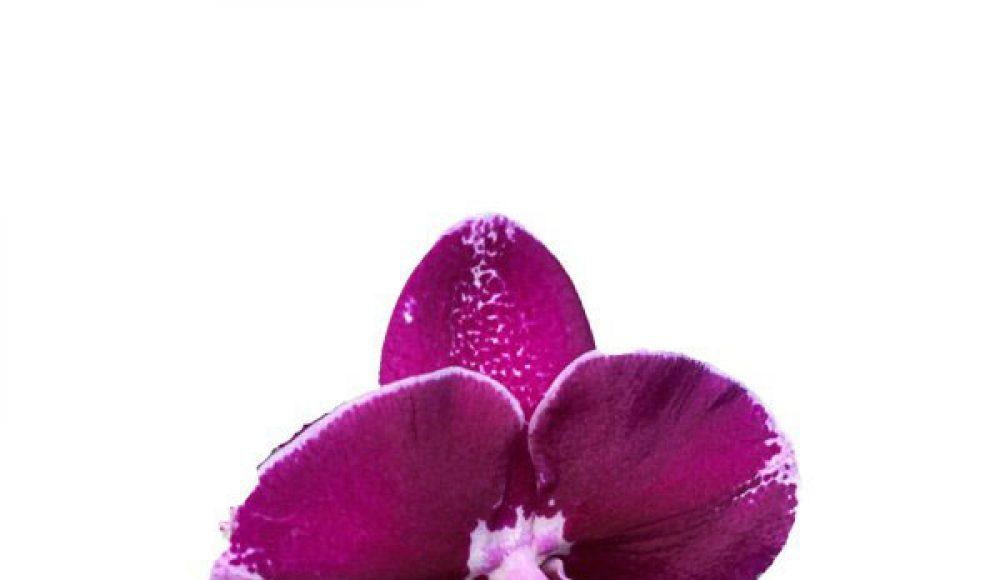 Ý nghĩa của hoa Lan Hồ Điệp