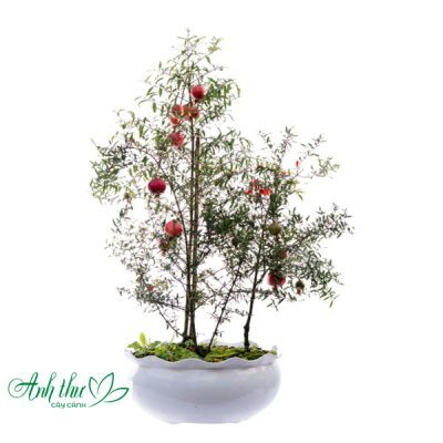 cây lựu